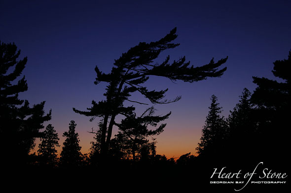 Pine at Sunset, Outer Fox Islands, Georgian Bay. Photo by Sean Tamblyn.